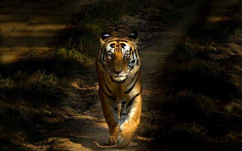 5 bài học ý nghĩa sâu sắc về cuộc sống rút ra từ loài Hổ
